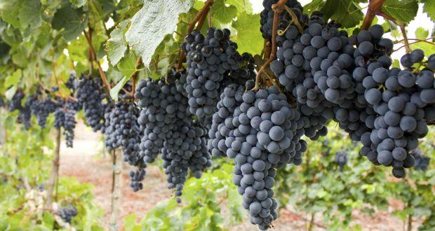 Mencia - rượu nho thú vị nhất Tây Ban Nha?